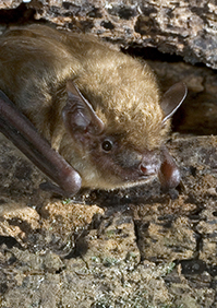Bat Control: Removal of bats & entry points