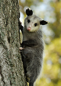 Opossum Control & Protection