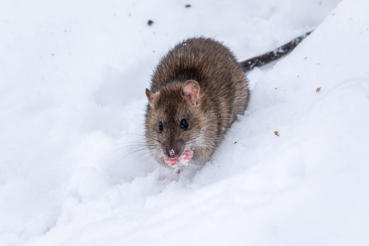 4 Ways to Make Your Home Rodent-Proof This Winter