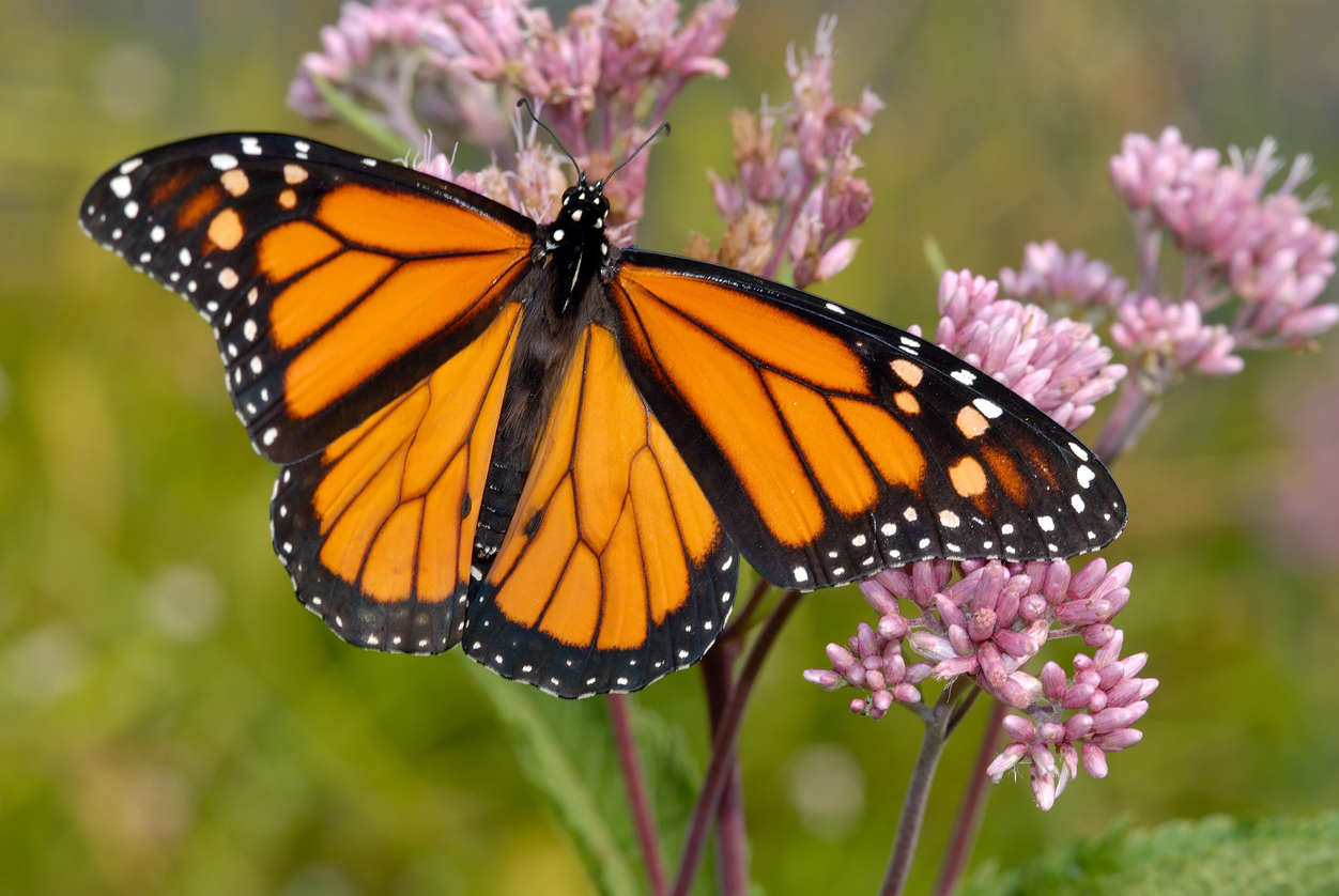 Monarch Magic: Behold, the King of Butterflies