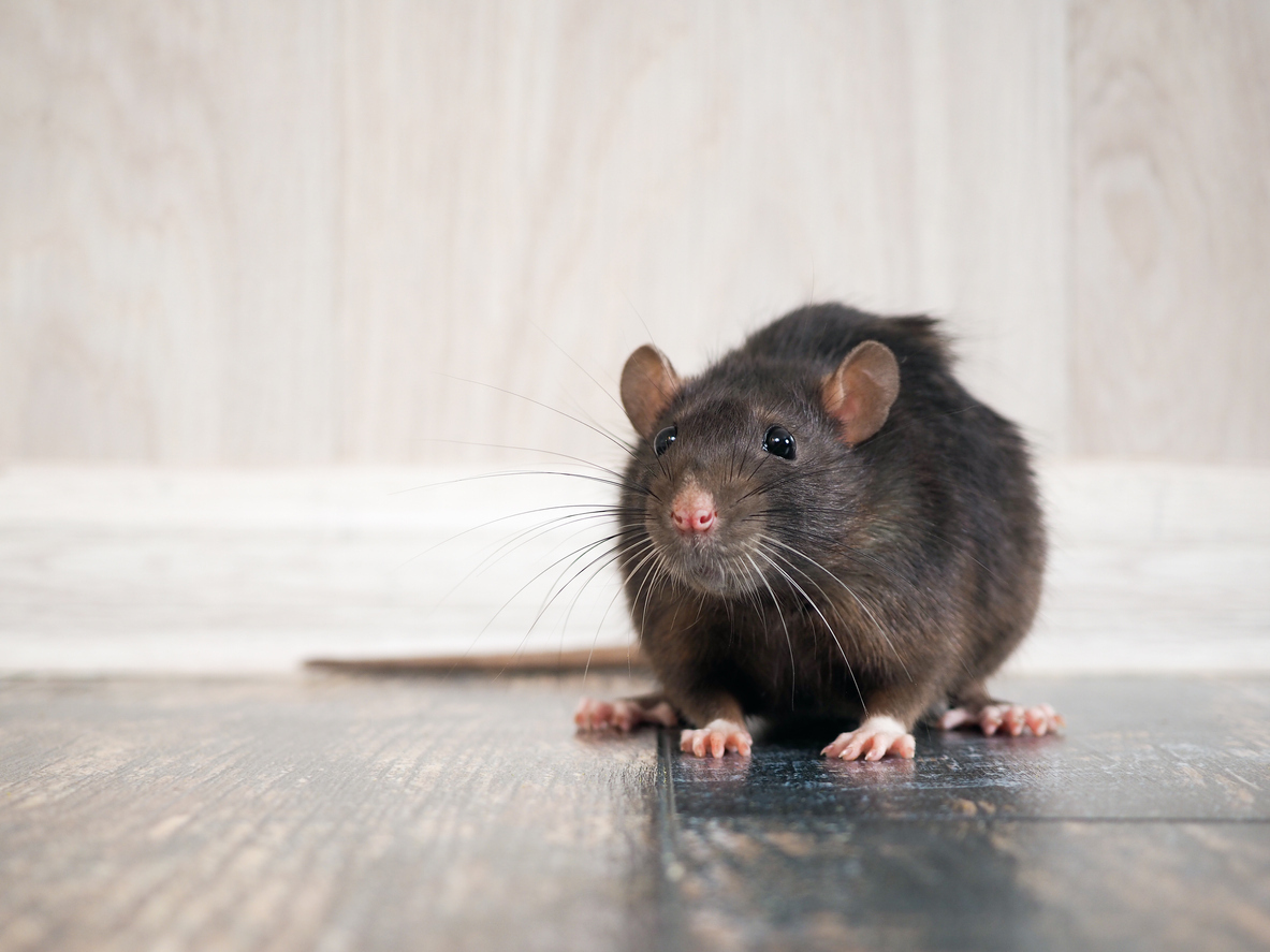 How to Avoid a Ratpocalypse in Your Home